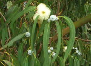 eucalipto2